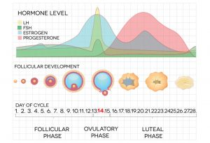 What Causes Ovulation?