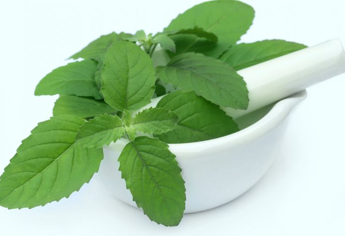 Eating Tulsi (Holy Basil) during Pregnancy