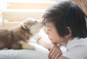 Siberian husky kissing little boy