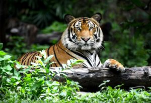 Animal Facts - BENGAL TIGER