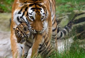 Mother tiger carrying her cub