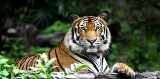 Interesting Tiger Facts & Information for Kids