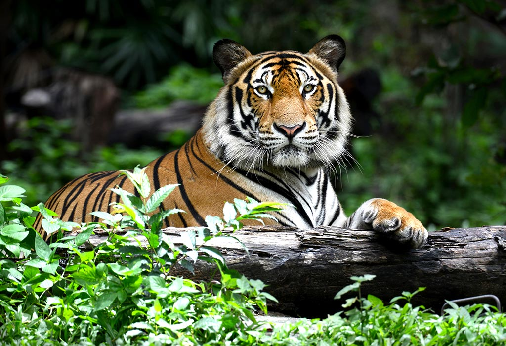 Interesting Tiger Facts Information For Kids