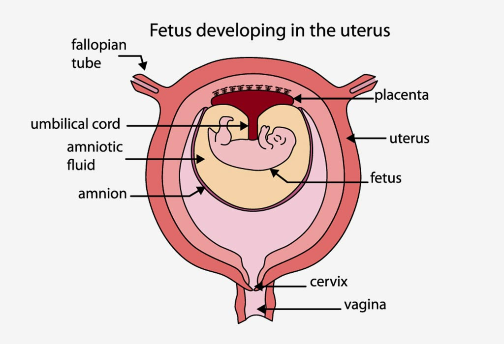Amniotic Fluid During Pregnancy