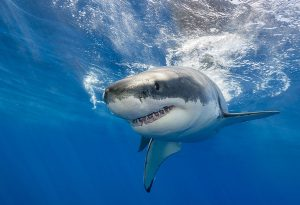 Great White Shark - A Type of Shark