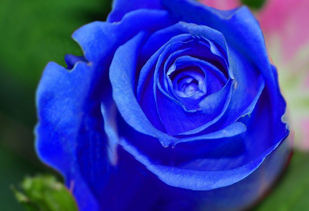 Blue coloured rose