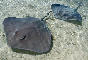 Sting Rays - A Type Of Rays