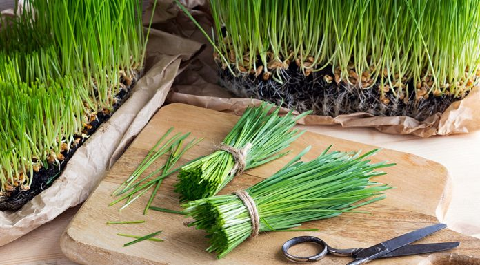 Wheatgrass during Pregnancy - Benefits and Side Effects