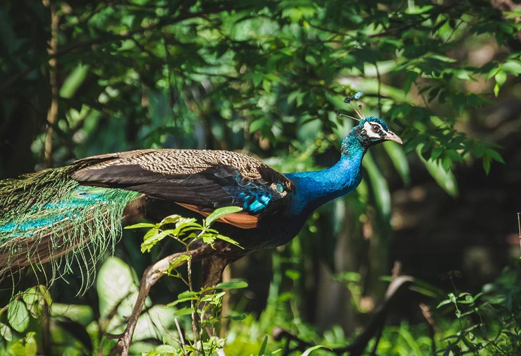 Indian Peacock On The Move