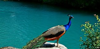20 Interesting Facts and Information about Peacocks for Kids