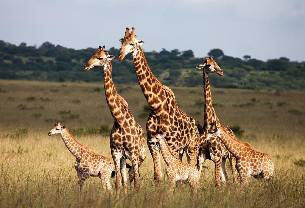 A giraffe family