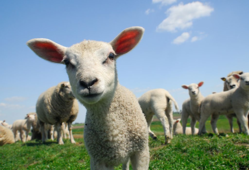 Lamb Wants to Make Friends With You