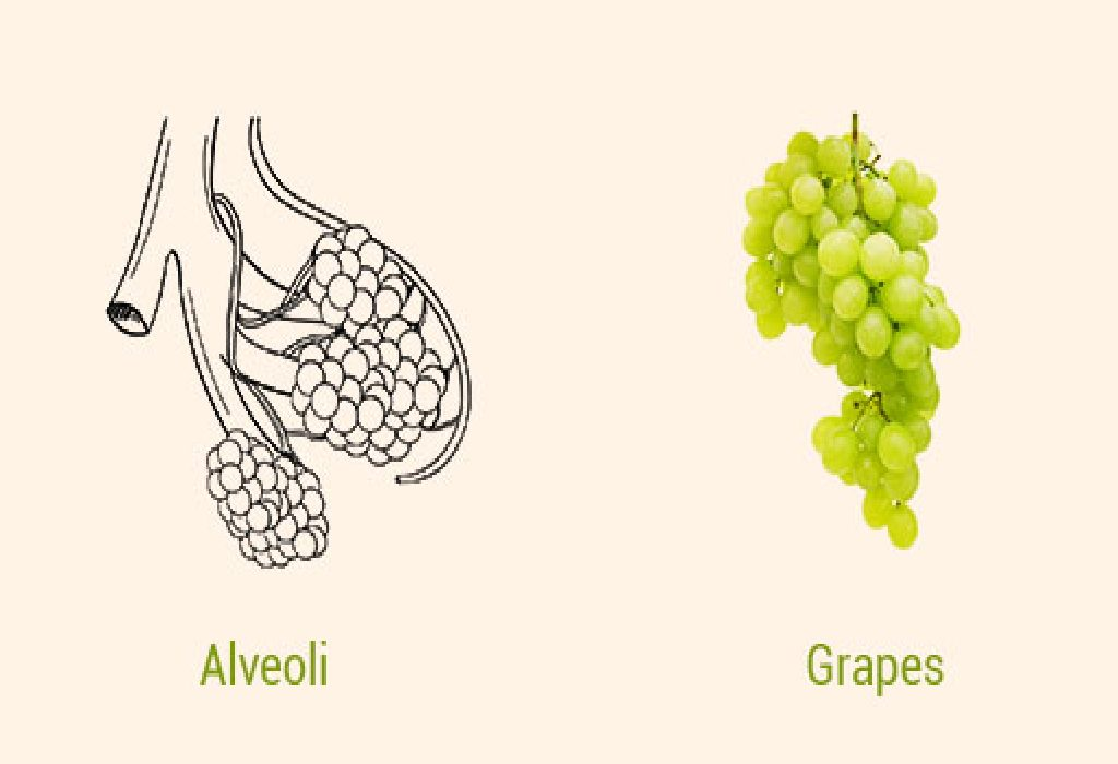 Grapes and Alveoli in Lungs