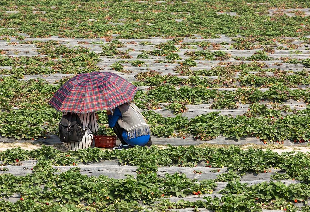 Couple picking strawberries in a farm
