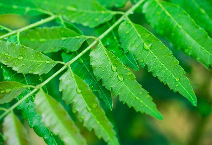 is eating neem during pregnancy safe