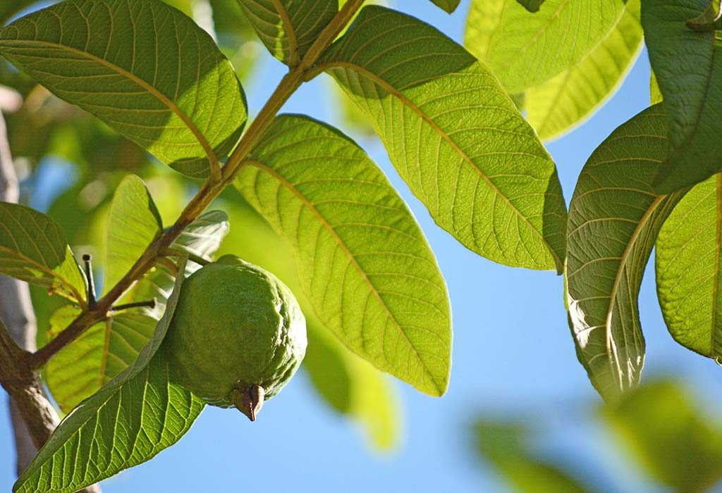Boiled Guava Leaves