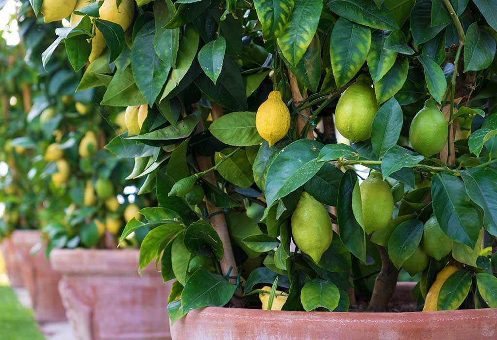 Citrus plants to get rid of spiders