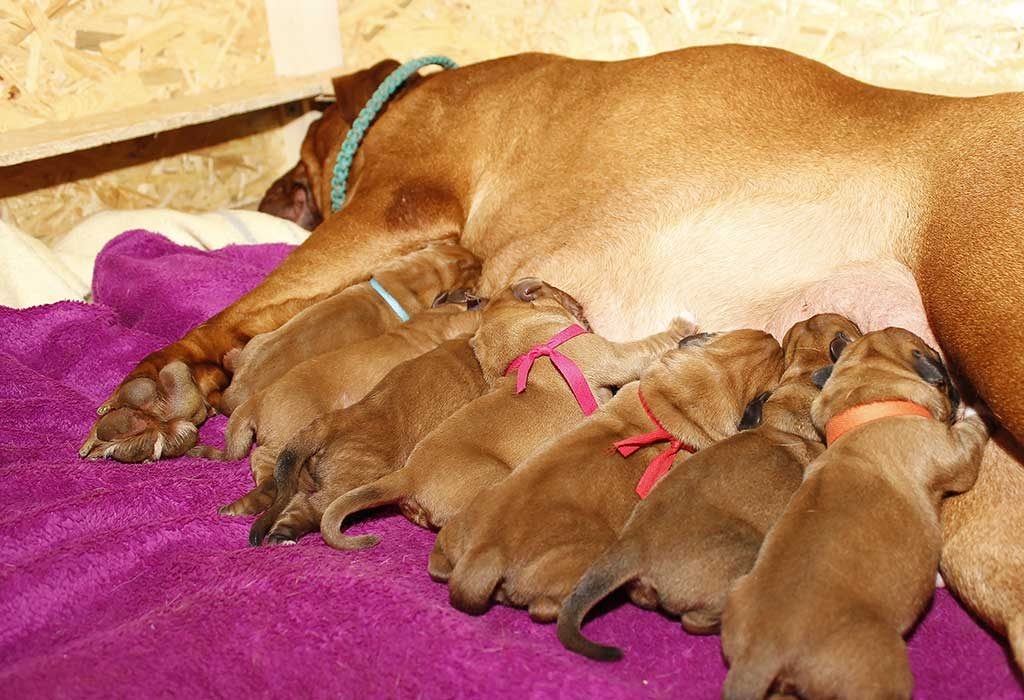 Pregnant Dog Care Tips