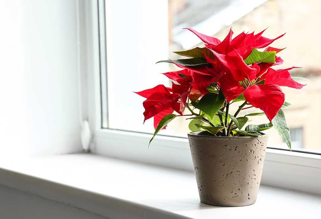 Poinsettia on a window sill