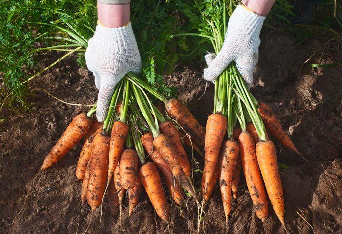 आंखों को सदैव निरोगी रखने के लिए गाजर का सेवन करना उपयोगी