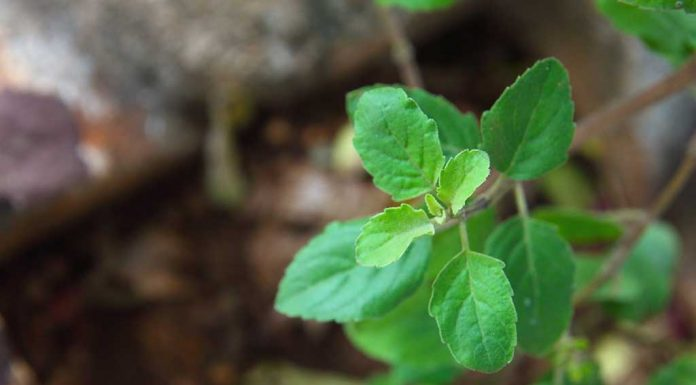 Incredible Benefits and Uses Of Holy Basil (Tulsi) - Queen of Herbs