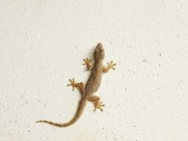 How to Get Rid of Lizards from Home with Simple and Effective Ways