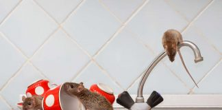 How to Get Rid of Rats and Mice from Home - 12 Effective Natural Remedies