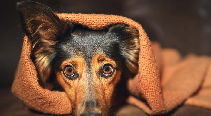 Anxiety in Dogs - Causes, Symptoms and Remedies