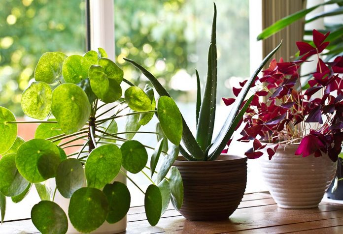 Tricks to Keep Indoor Plants Healthy, Growing and Blooming
