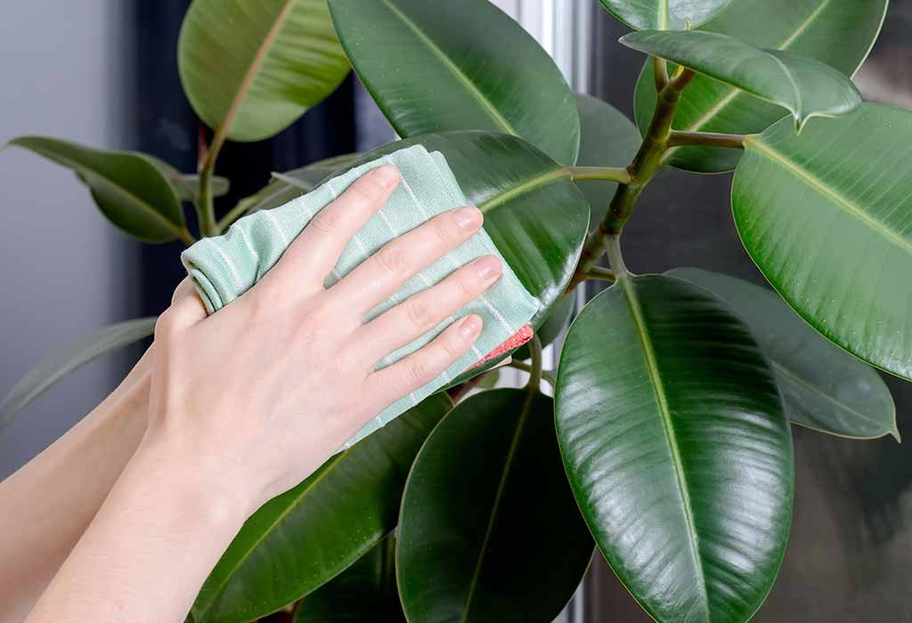 Young woman wiping her plant clean