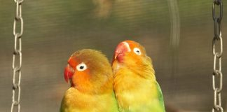 Best Foods for Love Birds – Know What to Feed Your Feathered Pets