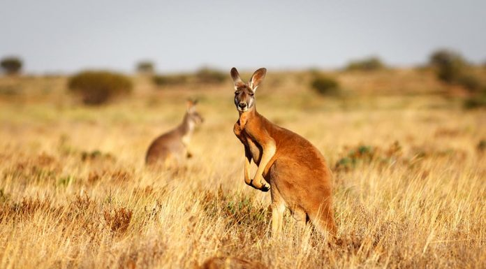 Facts and Information About Kangaroos for Kids