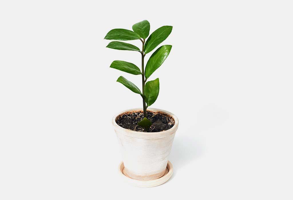 The zz plant
