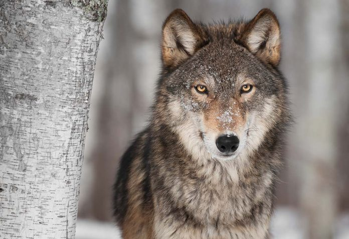fascinating wolf facts for kids