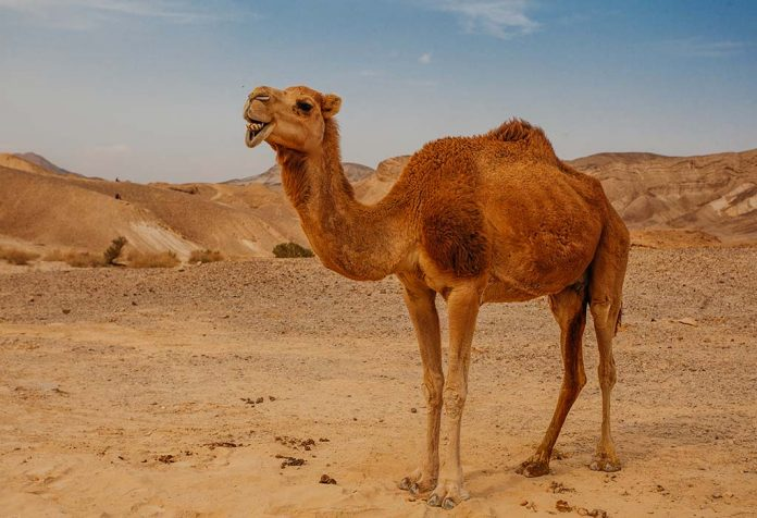 10 Fascinating Facts About Camels for Kids