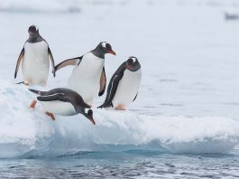 Interesting Penguin Facts for Kids