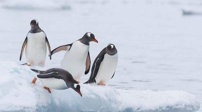 Interesting Penguin Facts for Kids