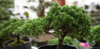 Best Tips to Grow Bonsai Tree at Home