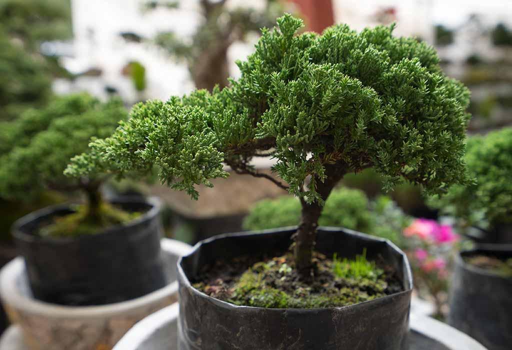 How To Grow A Bonsai Tree At Home