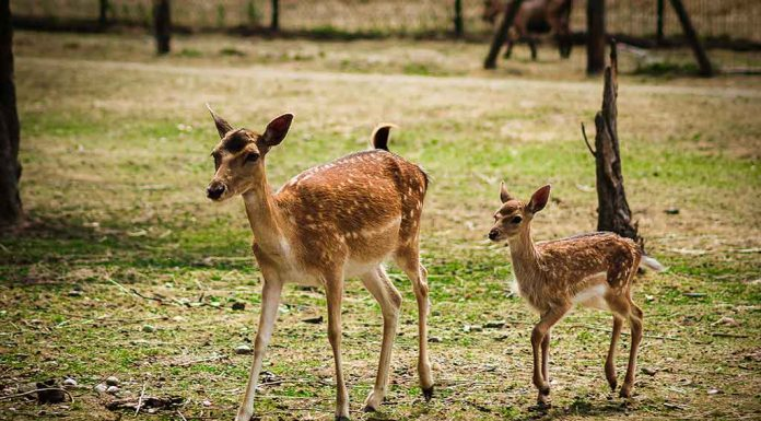 Fascinating Facts about Deer for Kids