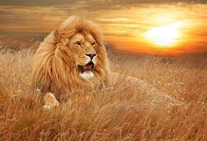 a lion sitting calmly in a dry grass field