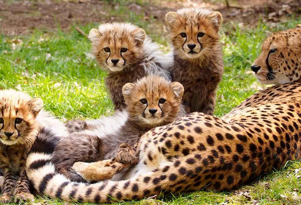 Interesting Facts And Information About Cheetah For Children