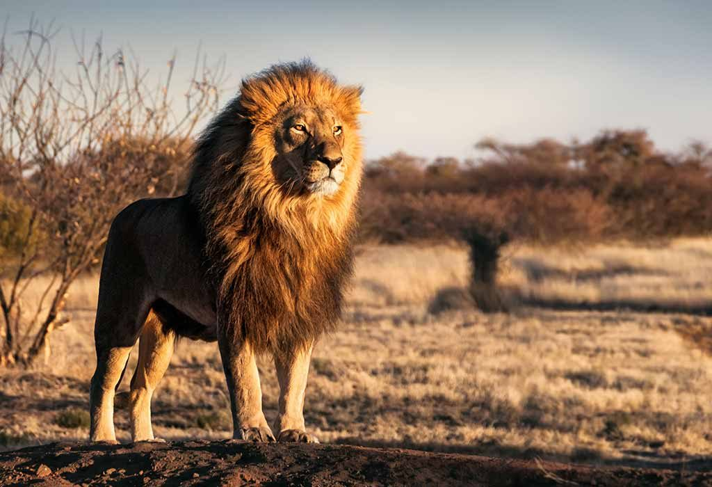 A lion standing alone