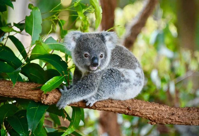 Interesting Facts About Koalas For Kids