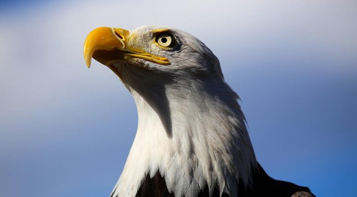 Interesting Facts About the National Bird of USA for Kids