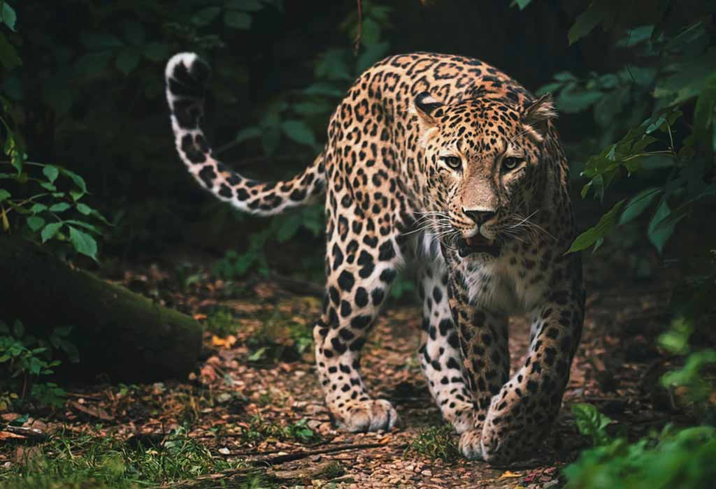 Leopard in Rainforests