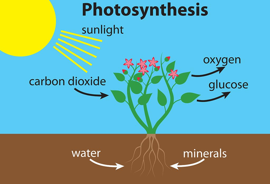 The Photosynthesis Process Explained