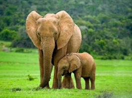 Amazing Elephant Facts for Kids