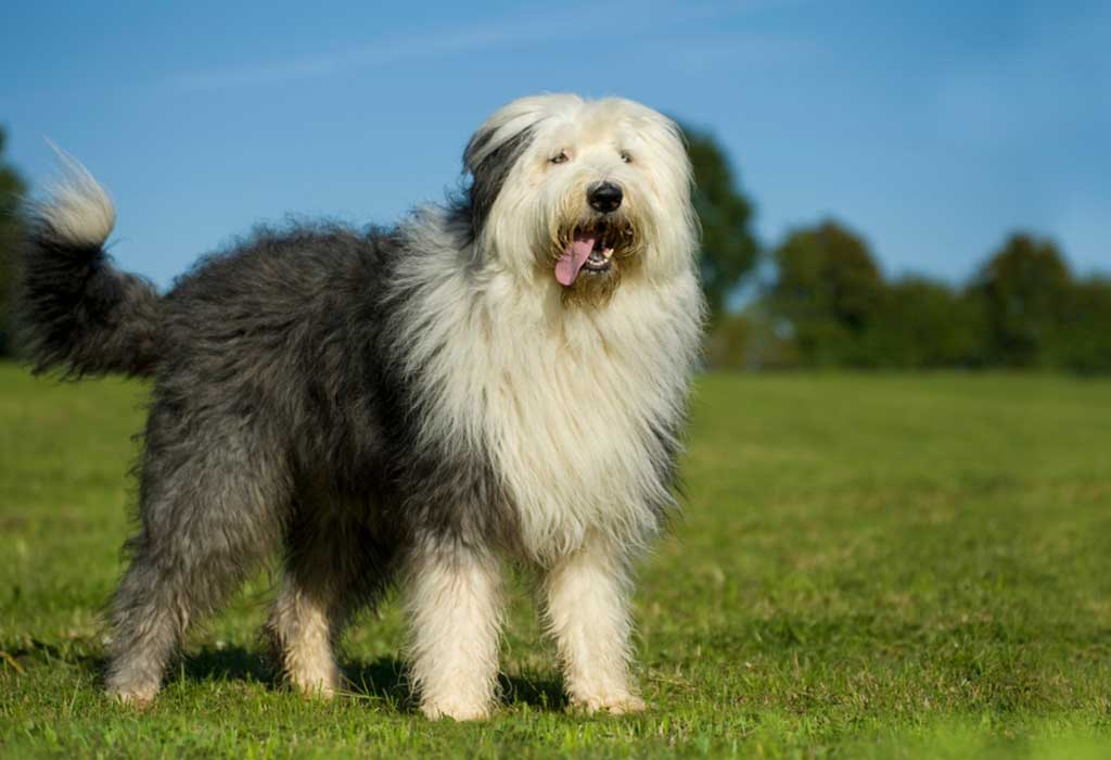 The Best Big, Furry Dogs for Your Family