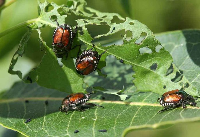 IMPORTANT TIPS TO IDENTIFY AND GET RID OF JAPANESE BEETLES